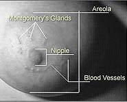 The tiny bumps around your nipple are called Montgomery glands.