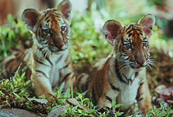 Two Brothers is the touching tale of two tiger cubs that are captured by humans.