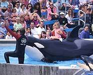 Killer whales like Free Willy are used to being in captivity.