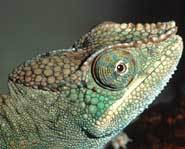 Chameleons can change colors according to mood.