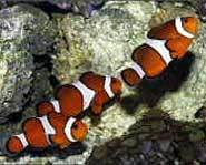 Clownfish, like Disney's Nemo, are found in the warm waters of the Pacific Ocean.