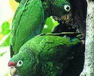 Puerto Rican Parrots have been endangered for over 30 years.