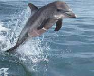 A dolphin's brain is actually bigger than a human's.
