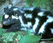 Spotted skunks are named after their spots.