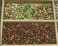 Only the fruit portion of the coffee cherry can be digested.