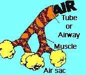 Air travels through the airways to the air sac