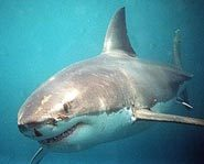 There are more than 350 species of sharks.