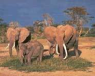 Elephants graze on the grassland biome.