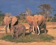 Elephants graze on the grassland biome.
