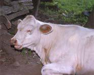 Not all cows have Mad Cow Disease and humans can only get it by eating an infected cow.