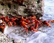 Red crabs mate in the ocean.