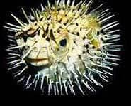 Something has gotten this blowfish mad!