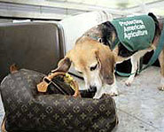 A beagle sniffs luggage at the airport.