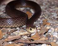 A dark colored taipan.