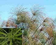 Cyperus papyrus with close up of flower clusters.
