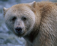 Kermode bears, or Spirit bears, are black bears with white fur.