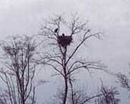 The nest of a Bald Eagle.