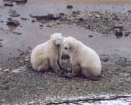 Two polar bears playing in the mud together.