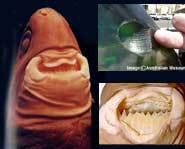 In the top right corner is a bite out of a submarine from a cookie cutter shark. Below are the teeth.