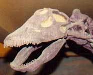 A real apatosaurus skull.