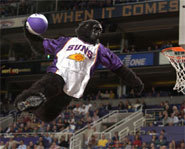 Picture of the Phoenix Gorilla - a professional sports mascot.