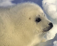 The Canadian Seal Hunt happens annually.