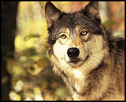 The number of gray wolves receded but are now on the rebound because they are a protected animal.