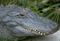 The American Alligator is quite different from the American Crocodile.