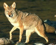 Coyotes are often found in urban areas.