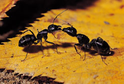 Ants are insects that live in colonies.