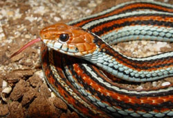 The San Francisco Garter Snake is an endangered species of reptile.