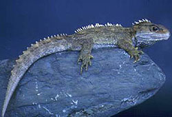 The Tuatara is considered a living fossil because it has remained unchanged for millions of years.