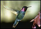 Hummingbird-poll