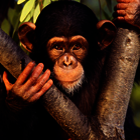 Monkey poll