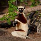 Lemur-poll