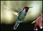 Hummingbird poll