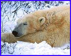 Sleeping bear poll