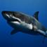 Great white shark poll