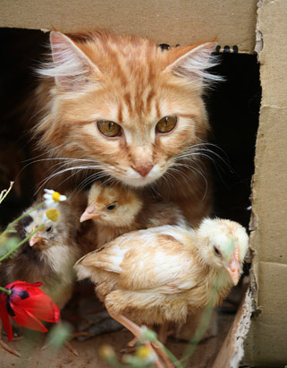 Nirma & Chicks