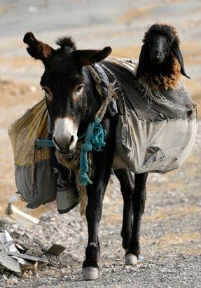 Donkey & Lamb