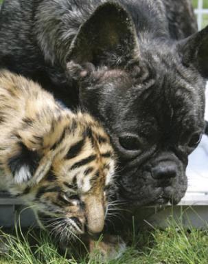 Bulldog & Tiger