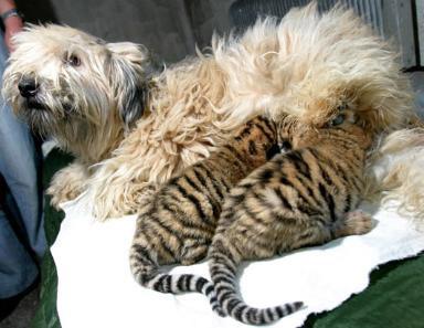 Dog & Cubs