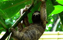 Jungle sloth poll