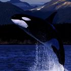 Orca whale poll