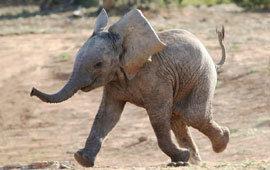 Baby elephant poll