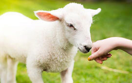Lamb pet poll