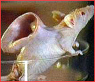 Vacanti mouse poll