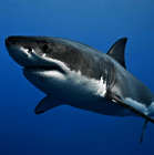 Great white shark poll