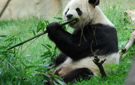 Panda bamboo poll