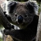 Koala poll